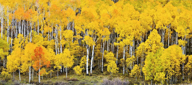 Pando Tree