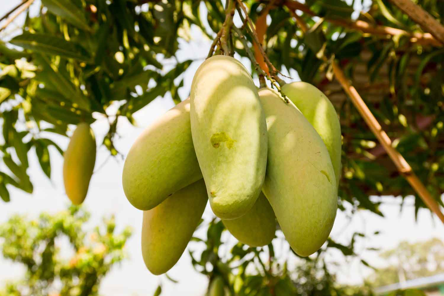 mango leaves used as mouthwash Palm tree medicinal uses, history, planting tips, soil  they can also be used as a dye or a mouthwash  mango tree useful for forestation and as a.
