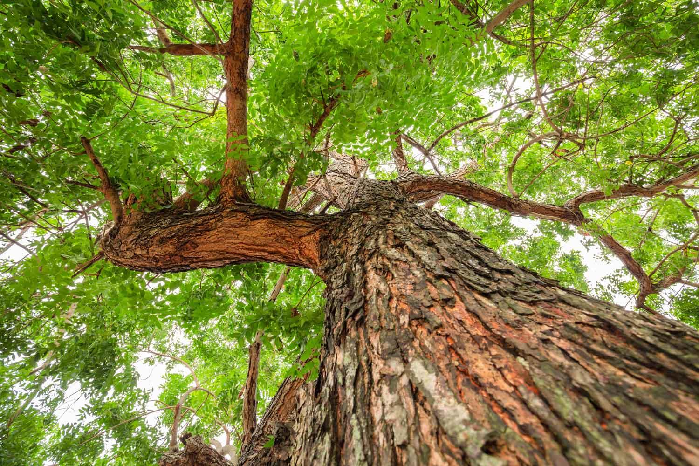 Neem tree pictures photos
